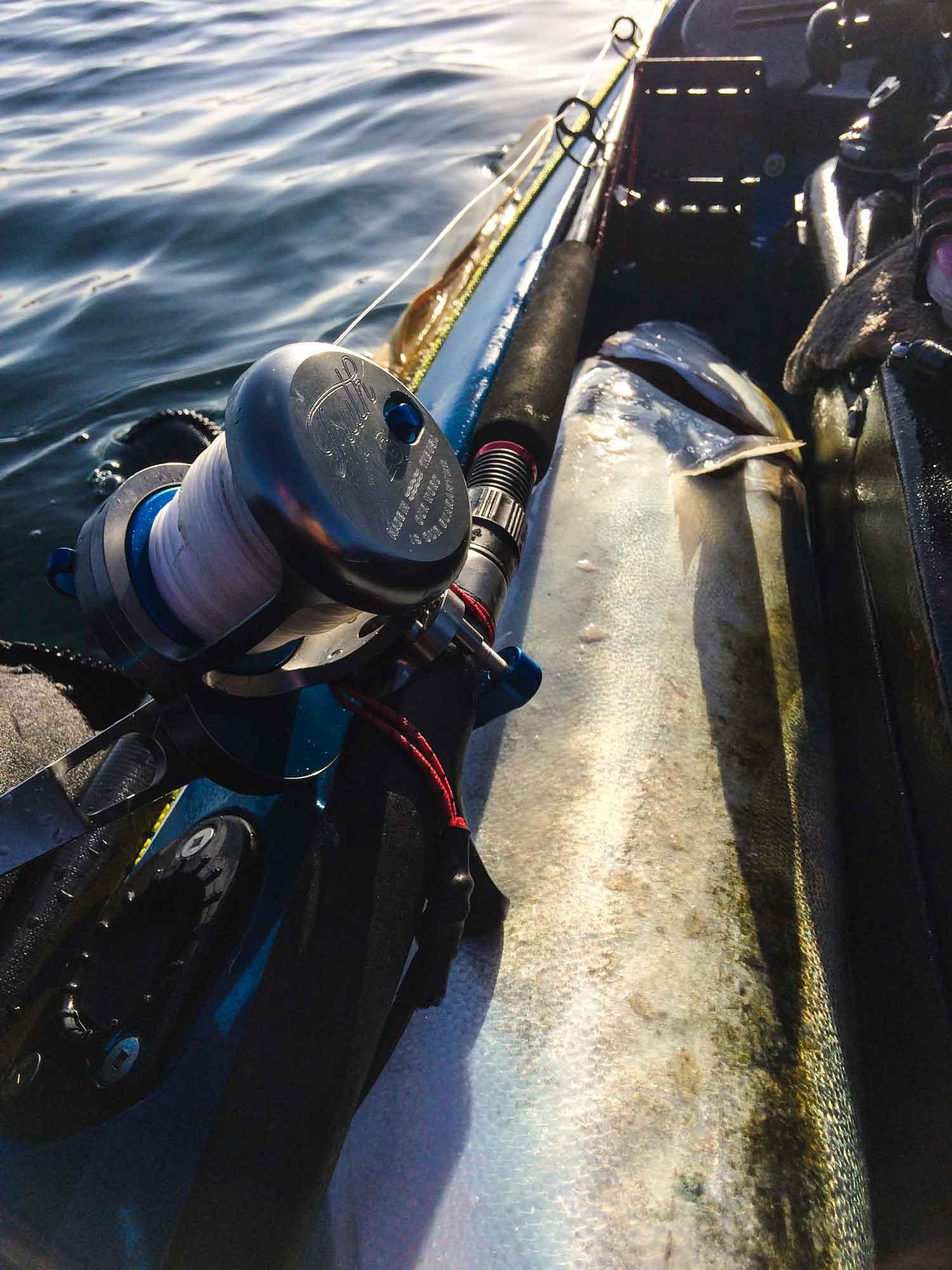 Portland Kingfish